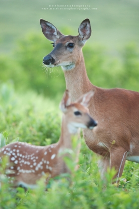 A doe stands over her fawn