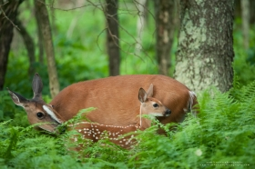 A whitetail doe cleans her fawn.