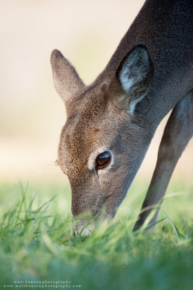 A doe feeds on grass