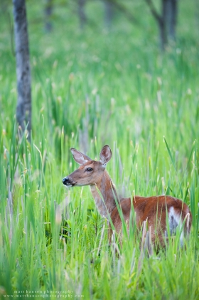 A whitetail doe in a northern reed setting.