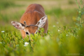 A young whitetail buck in velvet forages in a field