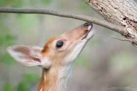 A whitetail fawn smells a branch.