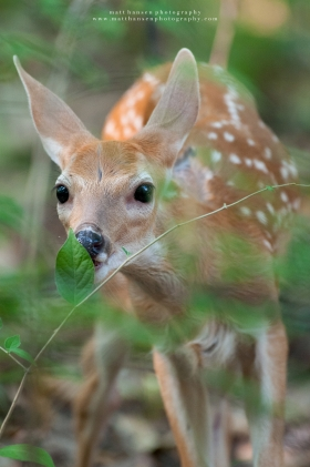 A whitetail fawn stretches his neck out to eat a leaf.