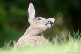 A whitetail fawn stretches in a dynamic pose while bedded.