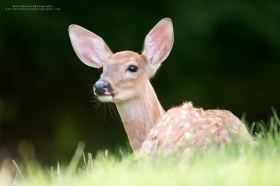 A whitetail fawn beds in a summer field.