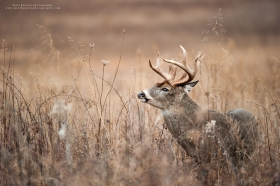 A large whitetail buck lifts his head up in brush.