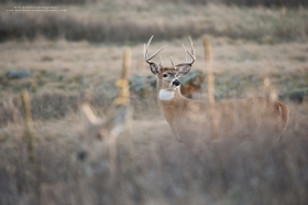 A big whitetail buck looks back while staying close to his doe.