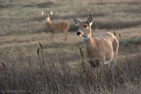 A whitetail doe stares ahead while a buck looks on.
