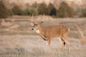 A trophy whitetail buck pauses in a field at sunset