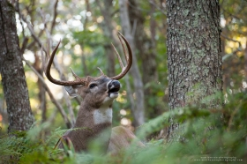 A bedded whitetail buck lip curls in woods