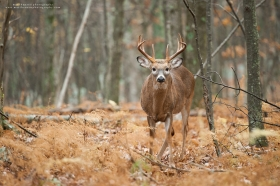A whitetail buck looks at the camera in a browning autumn forest.