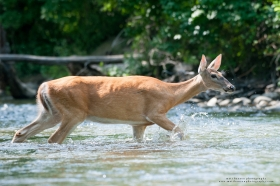 A whitetail doe crosses a stream