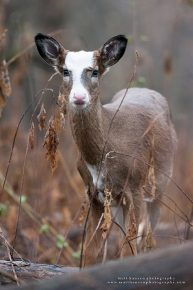 A piebald whitetail deer looks forward alertly in autumn woods.
