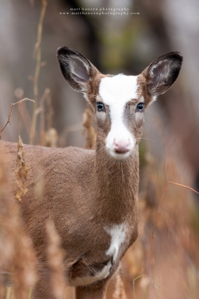 A piebald whitetail deer stares forward in autumn woods.