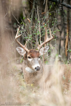 A bedded whitetail buck looks to the side.
