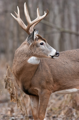A whitetail buck looks back in a hardwood forest.