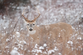 A whitetail buck looks up in a snowy brush field