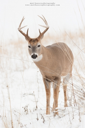 A whitetail buck looks inquisitively toward the camera in a snowy field
