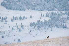 A whitetail buck stands on a ridge in a western mountain scene