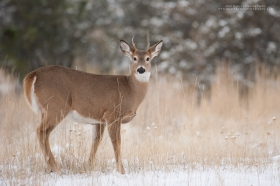 A young whitetail buck glances at the camera in winter.