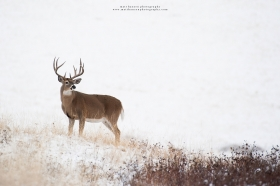 A large whitetail buck stands regally in a winter setting.