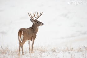 A whitetail buck scans a wintery ridge.