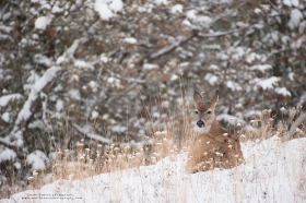 A whitetail doe beds in a snowy field