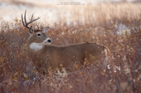 A whitetail buck with a broken antlers looks over his shoulder.