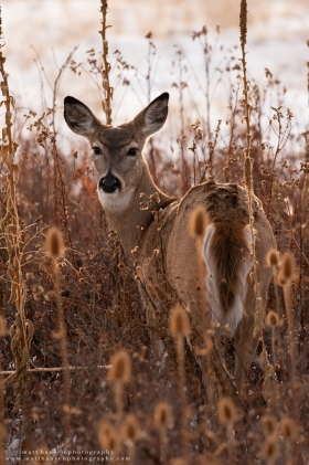 A whitetail doe looks behind her in a backlit thistle patch.