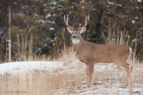 A whitetail buck stands broadside in a snowy field.