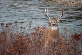 A whitetail buck stands alert with a river flowing behind him.