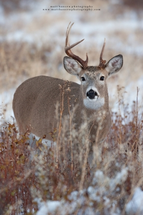 A deformed whitetail buck looks forward in a wintery field.