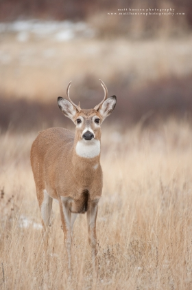 A young whitetail buck looks at the camera.
