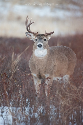 A fat whitetail buck stares ahead in a snowy field