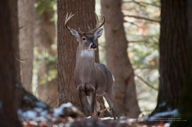 A young whitetail buck stands alert in a winter forest.