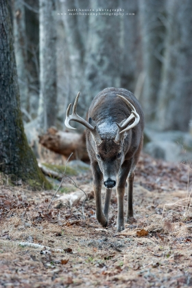 A whitetail buck steps forward.