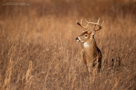 A heavy whitetail buck stands in a golden field.