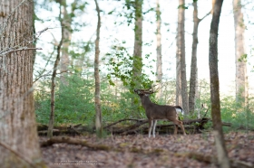 A tilt-shift lens perspective of a whitetail buck refreshing a licking branch.
