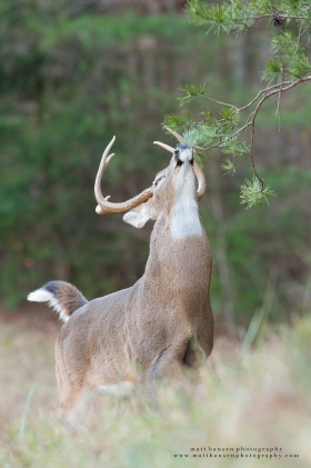 A whitetail buck reaches for a licking branch