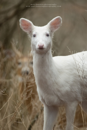 An albino whitetail deer stares ahead with a young buck behind.