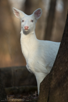 An albino whitetail deer stands at attention in a forest.
