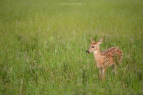 A whitetail fawn stands in a meadow at sunrise
