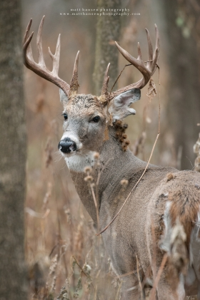 A huge 16 point whitetail buck looks back