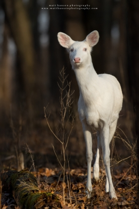 An albino whitetail deer stares ahead in a forest.