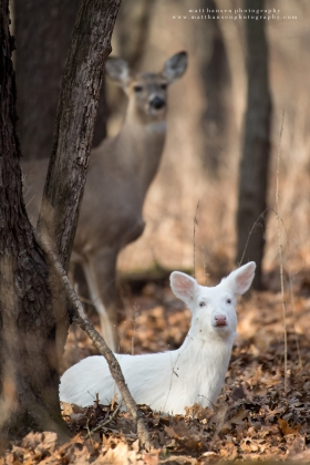 An albino whitetail deer beds in a forest with a doe seen behind.