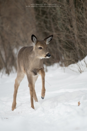 A young whitetail deer takes a step in a snowy forest