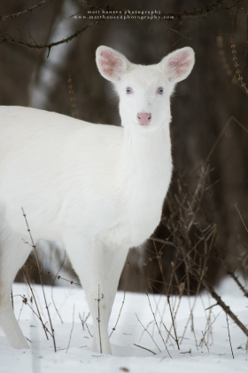 An albino whitetail deer stares alertly in a dark snowy forest