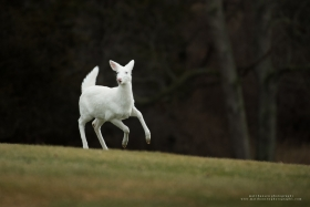 An albino whitetail deer jumps with a surprised look on it's face