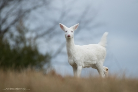 An albino whitetail deer stares with tail up on a cloudy winter day