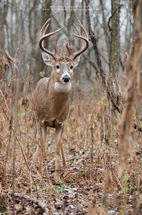 A large whitetail buck stands in a like-colored riverbottom forest.